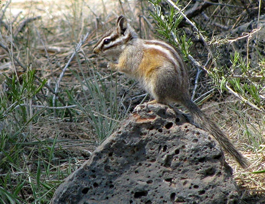 Picture of a yellow-pine chipmunk (Tamias amoenus)