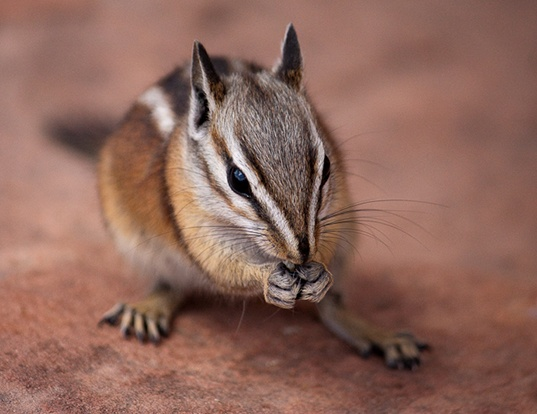 Picture of a cliff chipmunk (Tamias dorsalis)
