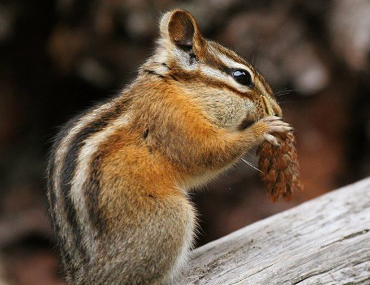 Picture of a new mexico least chipmunk (Tamias minimus)