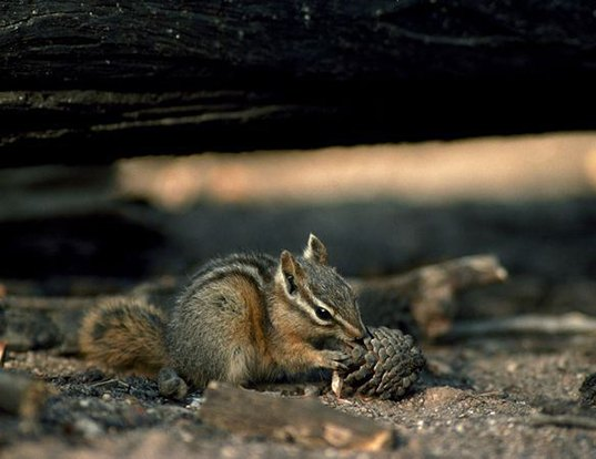 Picture of a palmer's chipmunk (Tamias palmeri)