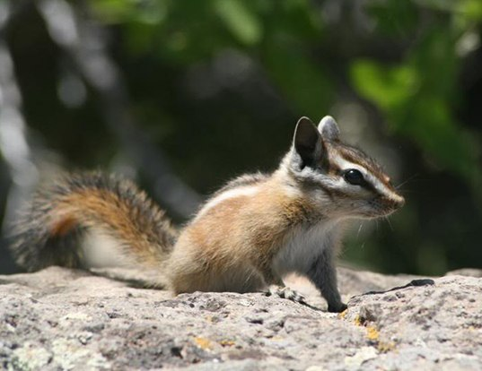 Picture of a hopi chipmunk (Tamias rufus)