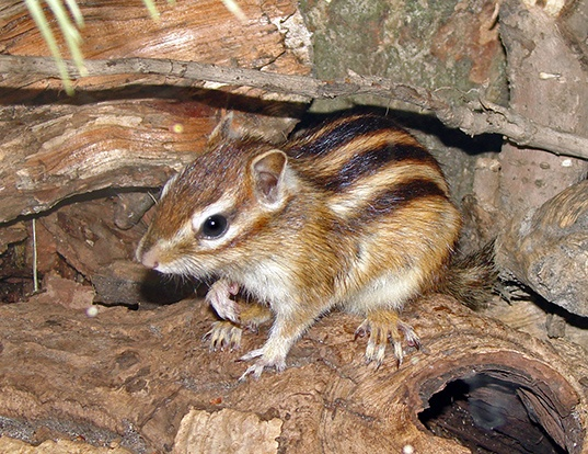 Picture of a siberian chipmunk (Tamias sibiricus)