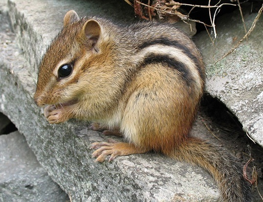 Picture of a eastern chipmunk (Tamias striatus)