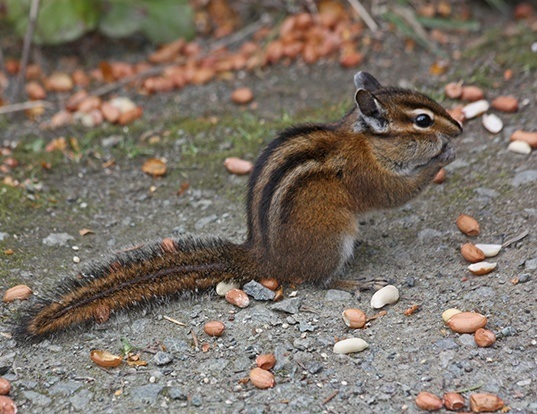Picture of a townsend's chipmunk (Tamias townsendii)