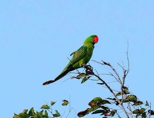 Picture of a great-billed parrot (Tanygnathus megalorynchos)