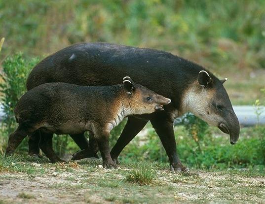 Picture of a baird's tapir (Tapirus bairdii)