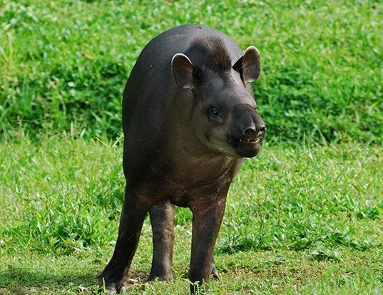 Picture of a lowland tapir (Tapirus terrestris)