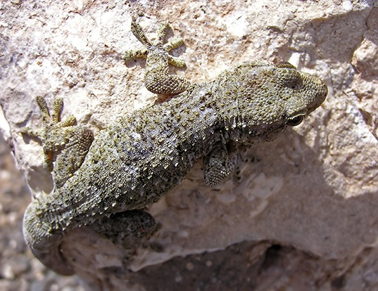 Picture of a ringed wall gecko (Tarentola annularis)