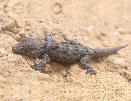Picture of a delalande's west african gecko (Tarentola delalandii)