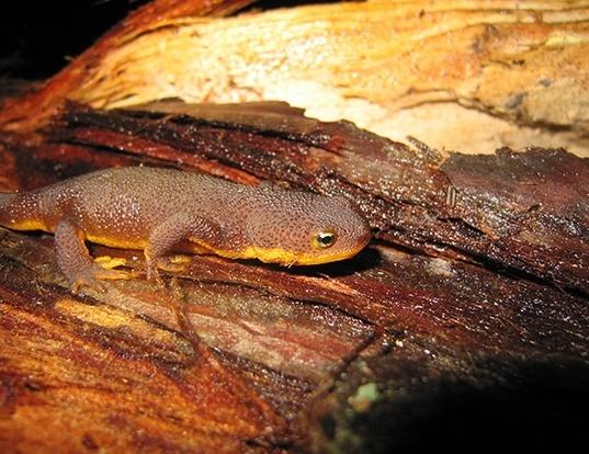 Picture of a coast range newt (Taricha torosa)