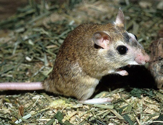 Picture of a indian gerbil (Tatera indica)
