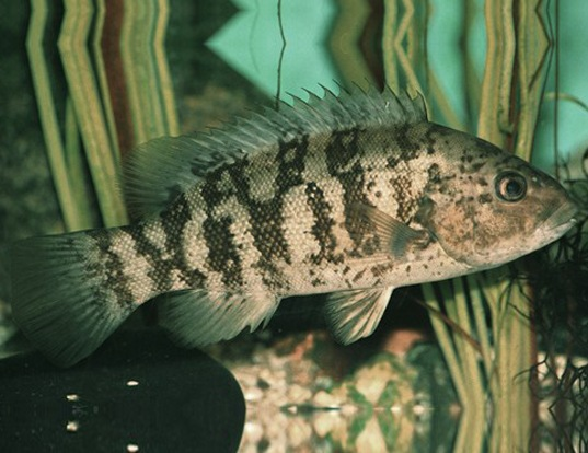 Picture of a black-fish (Tautoga onitis)