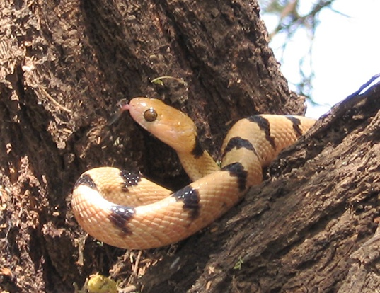 Picture of a eastern tiger snake (Telescopus semiannulatus)