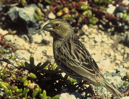 Picture of a laysan finch (Telespiza cantans)