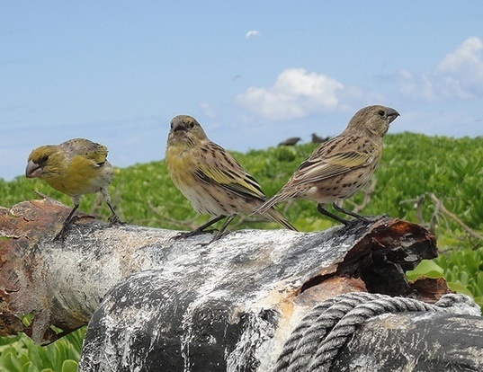 Picture of a nihoa finch (Telespiza ultima)