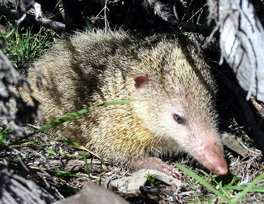 Picture of a tailess tenrec (Tenrec ecaudatus)