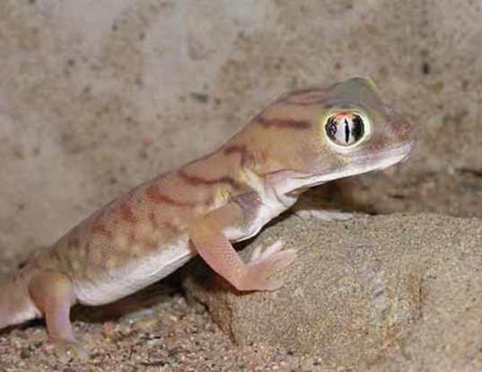 Picture of a small-scaled wonder gecko (Teratoscincus microlepis)