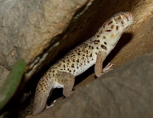 Picture of a wonder gecko (Teratoscincus scincus)