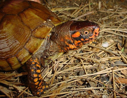 Picture of a three-toed box turtle (Terrapene carolina triunguis)