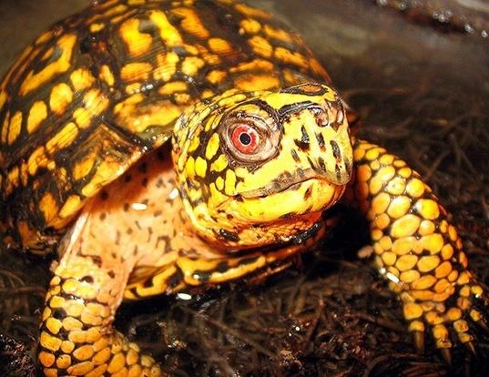 Picture of a eastern box turtle (Terrapene carolina)