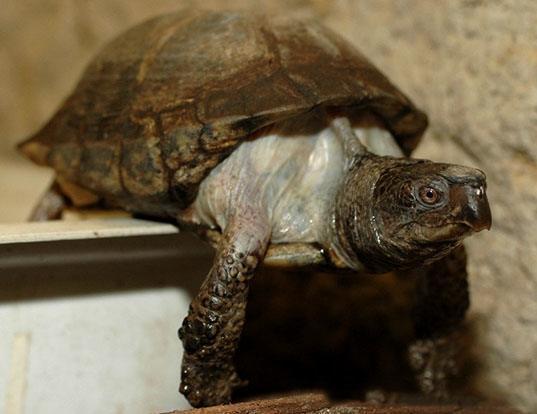 Picture of a coahuilan box turtle (Terrapene coahuila)