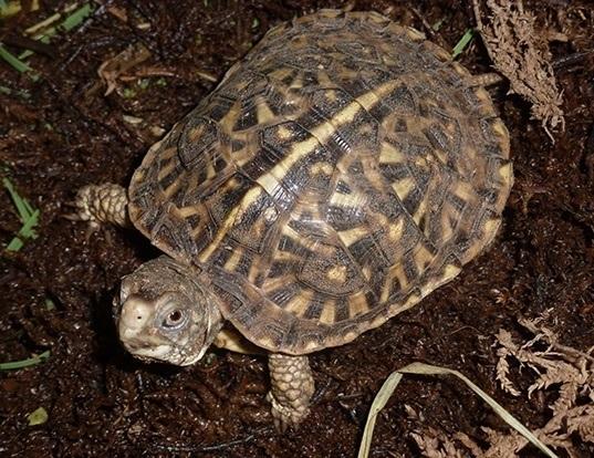 Picture of a ornate box turtle (Terrapene ornata)