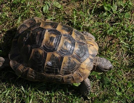 Picture of a tortoise (Testudo graeca)