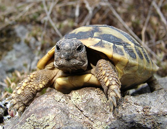 Picture of a heermann's tortoise (Testudo hermanni)