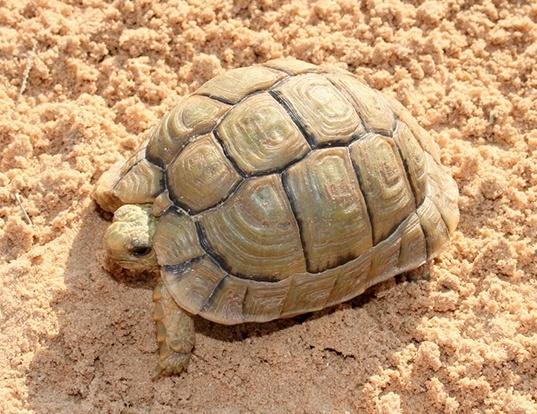 Picture of a egyptian tortoise (Testudo kleinmanni)