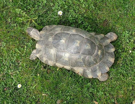 Picture of a marginated tortoise (Testudo marginata)