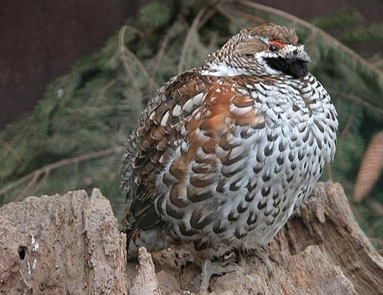 Picture of a hazel grouse (Tetrastes bonasia)