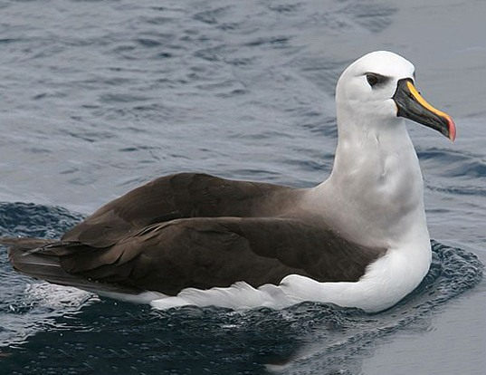 Picture of a atlantic yellow-nosed albatross (Thalassarche chlororhynchos)