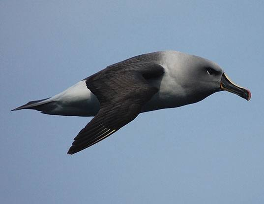 Picture of a grey-headed albatross (Thalassarche chrysostoma)
