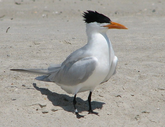 Picture of a royal tern (Thalasseus maximus)