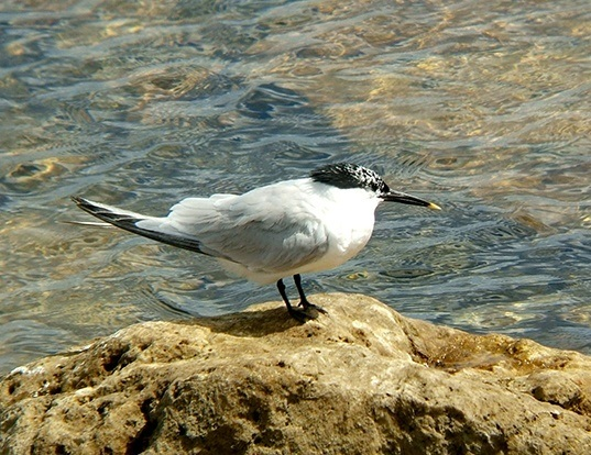 Picture of a sandwich tern (Thalasseus sandvicensis)