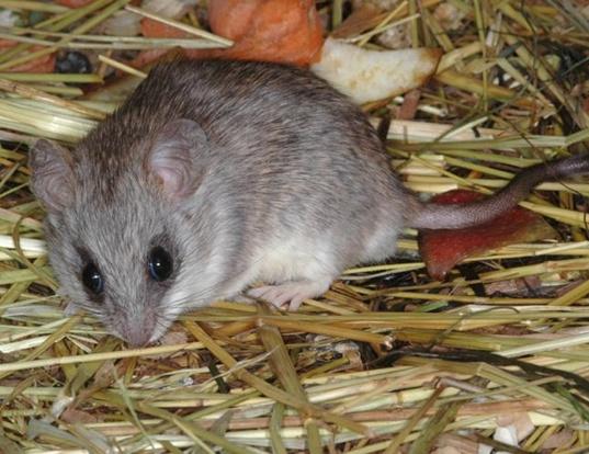 Picture of a acacia rat (Thallomys paedulcus)