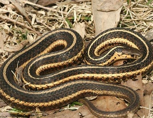 Picture of a butler's garter snake (Thamnophis butleri)