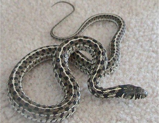 Picture of a checkered garter snake (Thamnophis marcianus)
