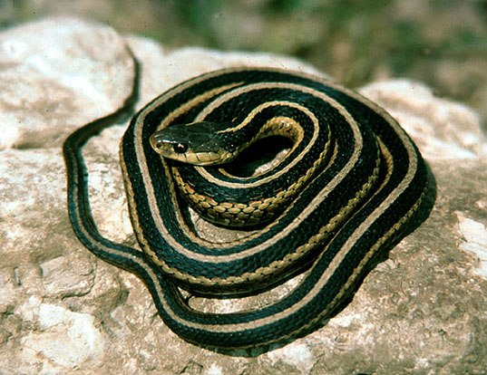 Picture of a san francisco garter snake (Thamnophis sirtalis)