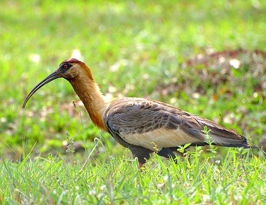 Picture of a buff-necked ibis (Theristicus caudatus)