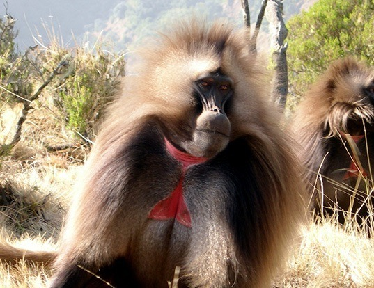 Picture of a gelada baboon (Theropithecus gelada)