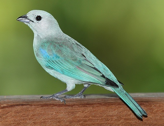 Picture of a blue-grey tanager (Thraupis episcopus)