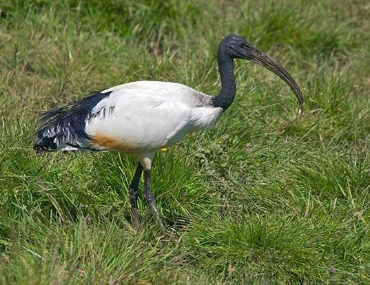 Picture of a sacred ibis (Threskiornis aethiopicus)