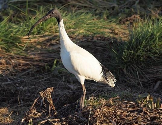 Picture of a australian ibis (Threskiornis moluccus)