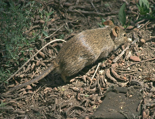 Picture of a lesser cane rat (Thryonomys gregorianus)