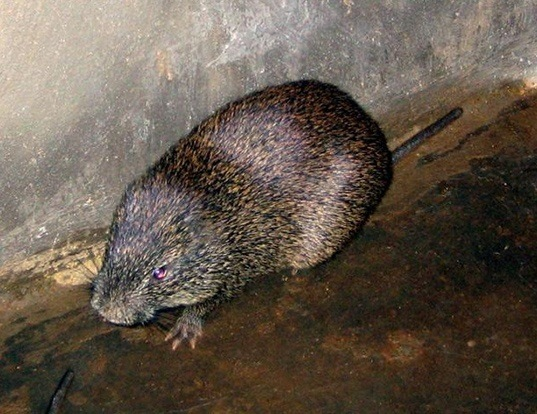 Picture of a greater cane rat (Thryonomys swinderianus)