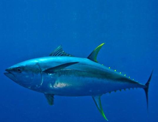 Picture of a yellowfin tuna (Thunnus albacares)