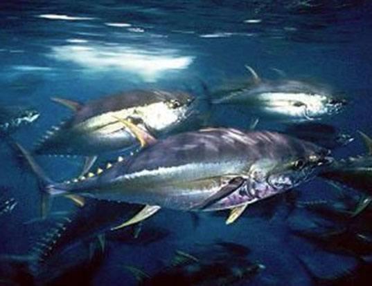 Picture of a bigeye tuna (Thunnus obesus)