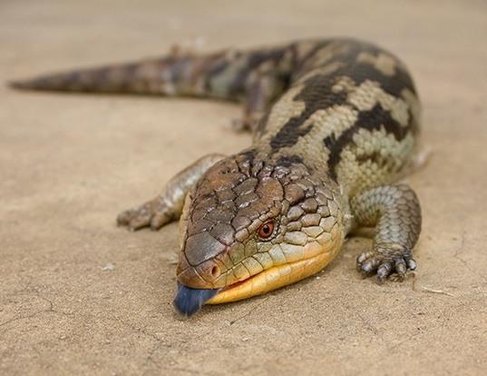 Picture of a blotched blue-tongued lizard (Tiliqua nigrolutea)