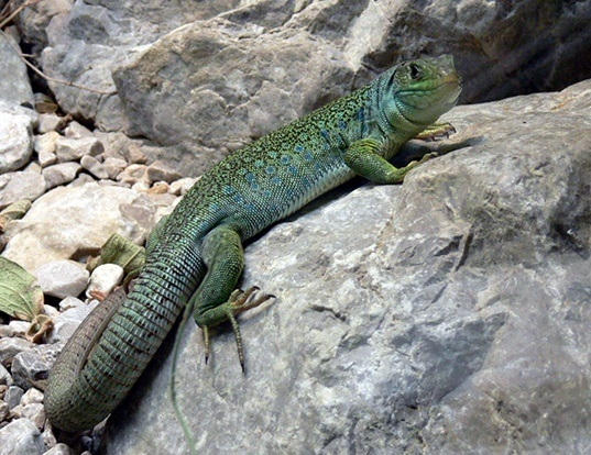 Picture of a ocellated lizard (Timon lepidus)